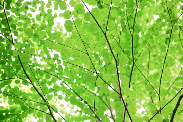 夏のベランダの暑さ対策に緑のカーテンとすのこのすすめ。